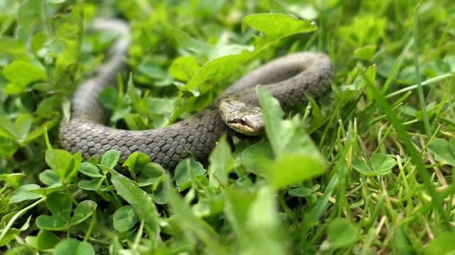 vídeos y material grabado en eventos de stock de serpiente salvaje coronella austriaca ataca cámara lenta - serpiente