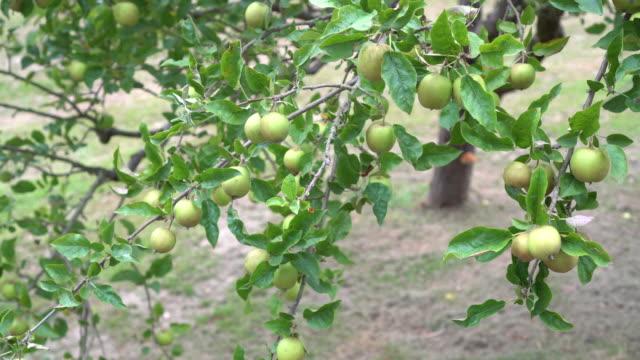 vilda sura gröna äpplen på ett träd med gröna blad i parken - anatolien bildbanksvideor och videomaterial från bakom kulisserna
