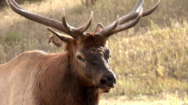 wild standing bull elk close-up evergreen colorado rocky mountain fall rut - poroże filmów i materiałów b-roll