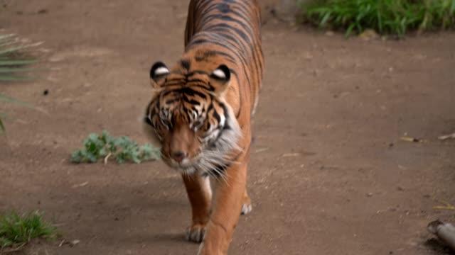 wild Sumatran tiger walks and roars