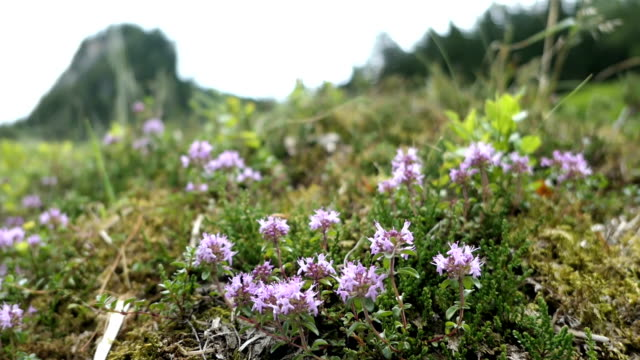 wild thyme herb growing in zillertal valley austrian alps. - stato federato del tirolo video stock e b–roll
