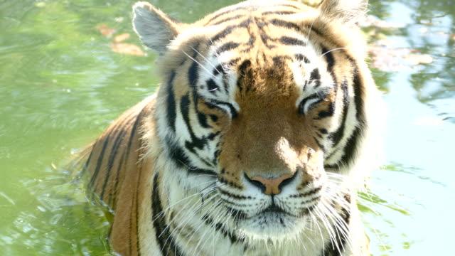 vídeos y material grabado en eventos de stock de tigre salvaje en el río - tigre