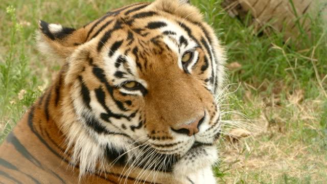 vídeos de stock, filmes e b-roll de 4k tigre selvagem deitado e descansando - felino