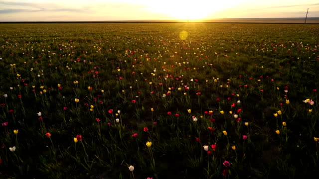 Wild tulips in a sunny meadow on background sky. Sunrise. The steppe comes to life in the spring. Wild tulips in a sunny meadow on background sky. The steppe comes to life in the spring. A pacifying picture of tranquility. Torgay, Kazakhstan. kazakhstan stock videos & royalty-free footage