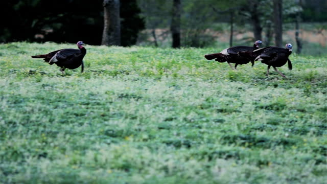 wild turkeys making gobble sound - hunting stock videos and b-roll footage