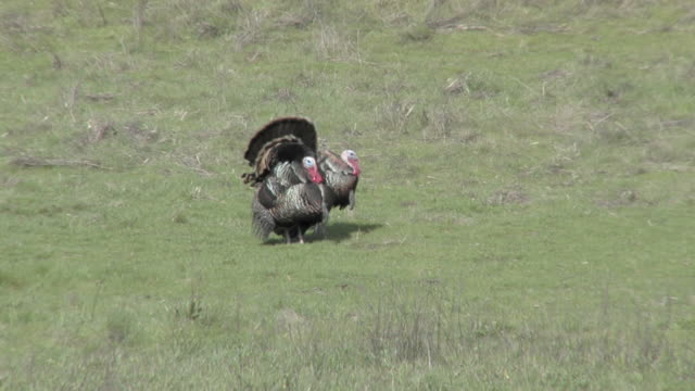 stockvideo's en b-roll-footage met wild turkeys - vogel herfst