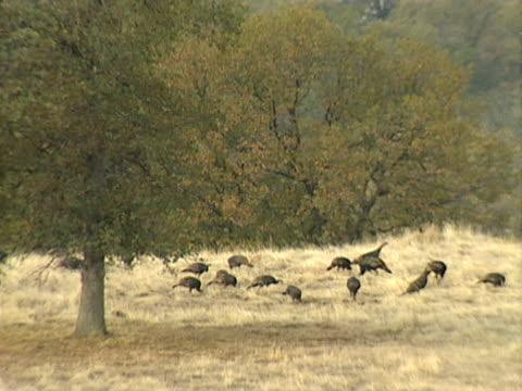 stockvideo's en b-roll-footage met wild turkeys - natuurgrond