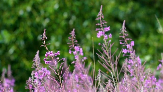 wild violet flower on meadow in spring breeze video