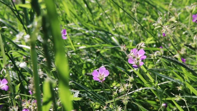 Wild violet flowers and green grass in the wind at sunny summer day
