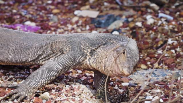 Wild water monitor lizard reptile hissing defensive animal behavior