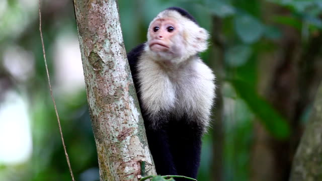 Wild White-faced Capuchin excited by something below video