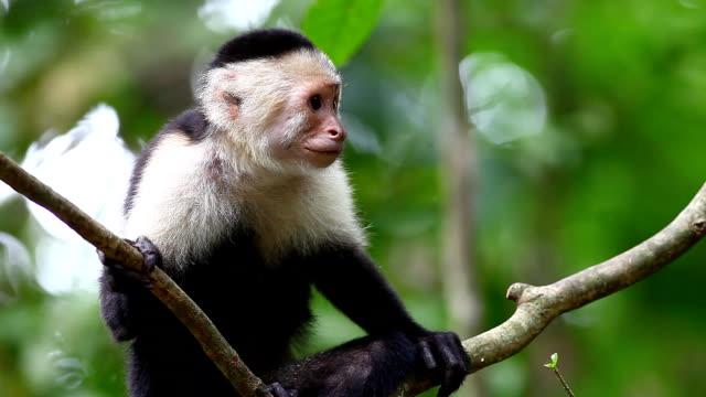wild bianco-face cappuccina colleghi a qualcosa di seguito - scimmia video stock e b–roll