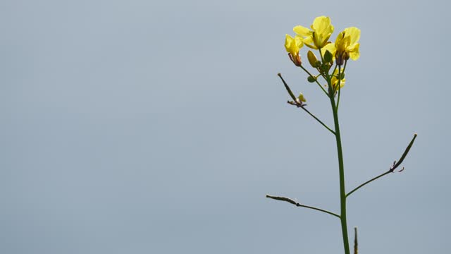 Wild yellow flowers swaying in wind. video