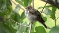 istock Wild young baby chipping sparrow chirps in chokecherry bush Littleton Colorado 1254441839