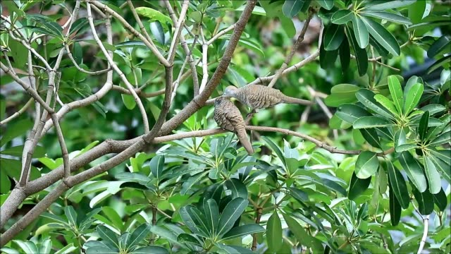 wild zebra dove couple preening its lover on the tree branch, bangkok' urban, thailand - fianco a fianco video stock e b–roll