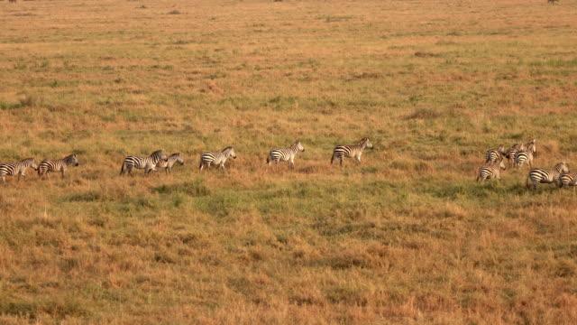 CLOSE UP: Wild zebras walking in group across savannah field at golden sunset video