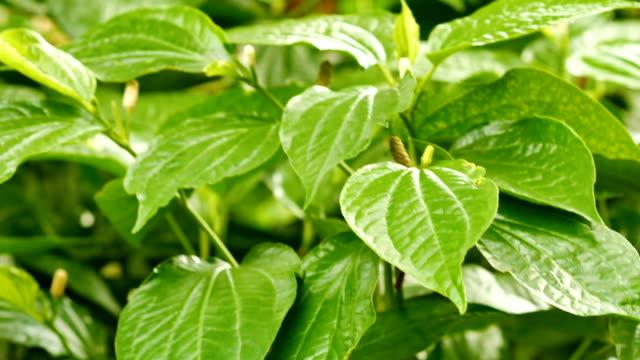 stockvideo's en b-roll-footage met wildbetal leafbush of piper sarmentosum roxb. - {{asset.href}}