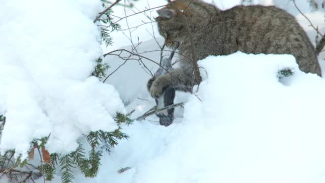 wildcat in winter video