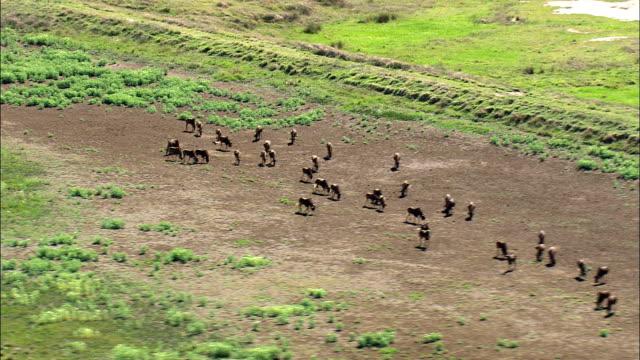 Wildebeest - Aerial View - Orange Free State,  South Africa video
