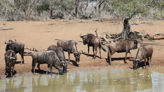 Wildebeest at the waterhole Herd of blue wildebeest (Connochaetes taurinus), drinking water, Mkuze game reserve, South Africa waterhole stock videos & royalty-free footage