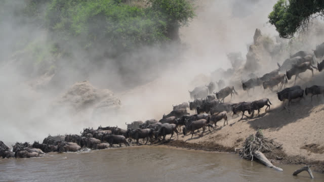 wildebeest  great migration crossing the mara river in kenya - wildlife travel stock videos and b-roll footage