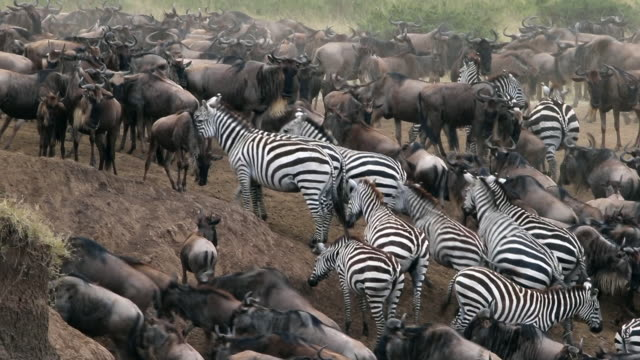 vídeos de stock e filmes b-roll de wildebeest migration - quénia