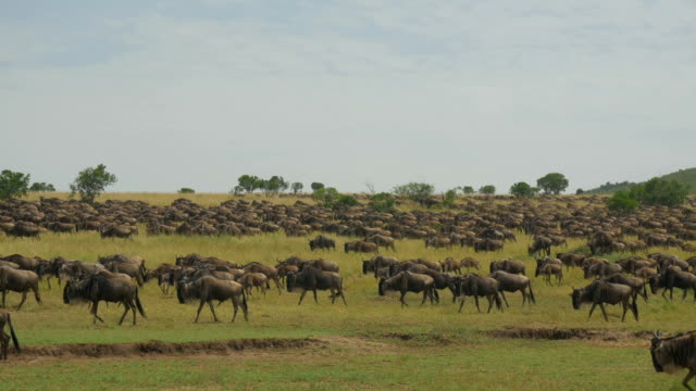 SLOW MOTION: Wildebeest migration video