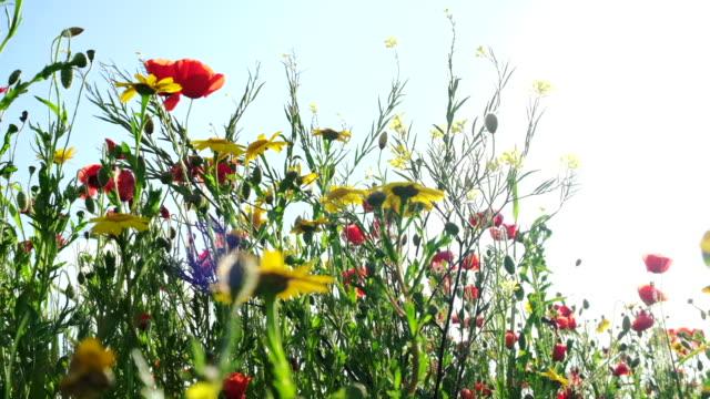 vídeos de stock e filmes b-roll de wildflower meadow at pentire, newquay, on a sunny june afternoon. - granadilha
