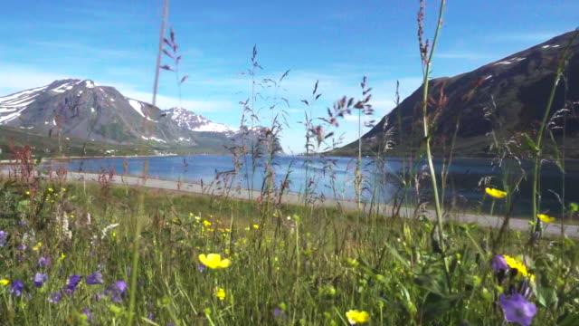 vídeos y material grabado en eventos de stock de pradera de flores silvestres en el mar y las montañas en el norte de noruega - flor silvestre
