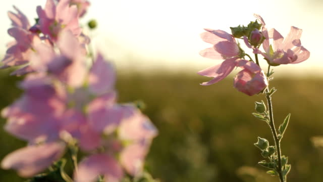 Wildflowers on wind sunset video
