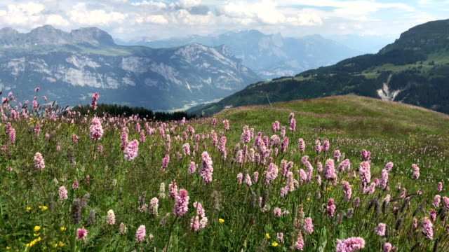 vídeos de stock e filmes b-roll de wildflowers sway in the wind on a hillside of switzerland alps - oscilar