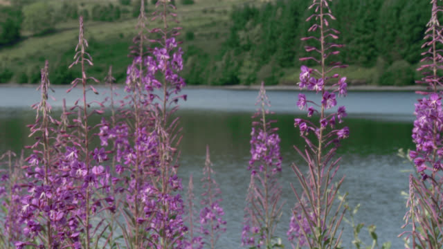 Wildflowers swaying in the wind in south west Scotland Flowers growing beside a loch shot at 50fps and interpreted at 25 fps to give slow motion galloway scotland stock videos & royalty-free footage