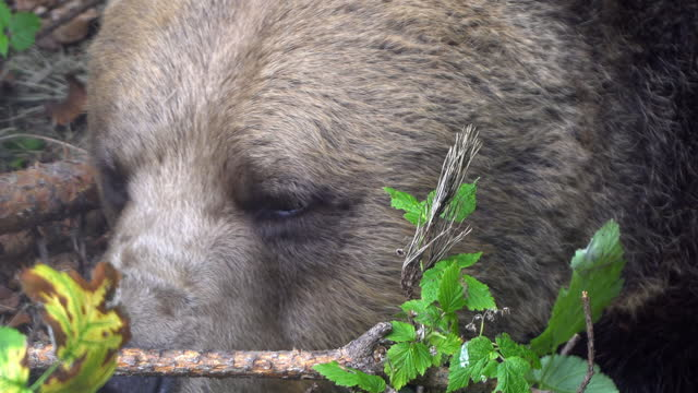 Wildlife bear in forest, closeup