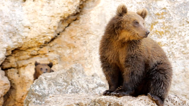 wildlife - brown bear  montage hd video - bear stock videos and b-roll footage