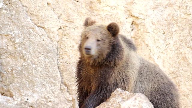 野生動物-ヒグマ - クマ点の映像素材/bロール