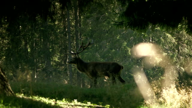 wildlife deer animal walking majestically in deep forest - jeleniowate filmów i materiałów b-roll