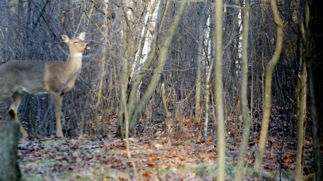 Wildlife - Deer in the woods walking video