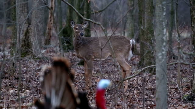 Wildlife - Deer walking near turkey decoy video