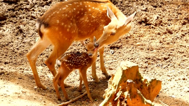 wildlife scene. beautiful young fallow whitetail deer, wild mammal animal in forest surrounding. spotted, chitals, cheetal, axis, cervus nippon or japanese deer grazing in natural habitat in the sun. - jelonek filmów i materiałów b-roll