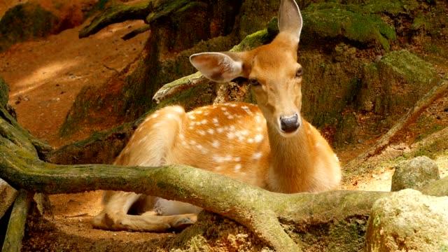 yaban hayatı sahne. güzel genç nadas whitetail geyik, orman çevreleyen içinde yabani memeli hayvanlar hayvan. benekli, chitals, cheetal, eksen, cervus nippon ya da japon geyik güneşin doğal ortamlarında otlatma. - benekli geyik stok videoları ve detay görüntü çekimi