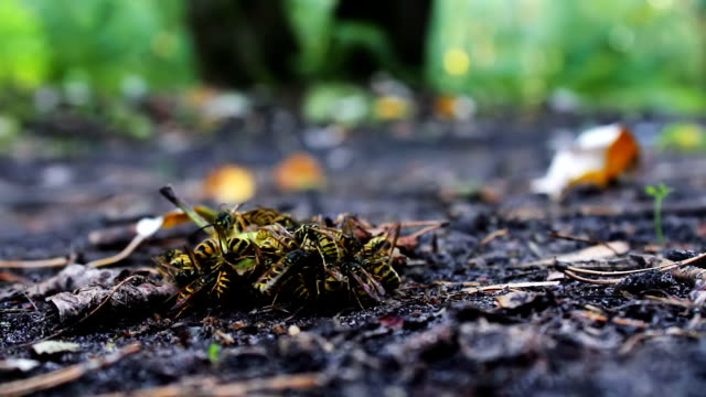 Wildlife swarm wasps eat rotten pear or apple on the ground Many yellow wasps crawling inside a rotten pear. Swarm wasps moves around the pears. Close-up of a wasp move in rotten fruit fallen to the ground from the tree. scandal abc stock videos & royalty-free footage