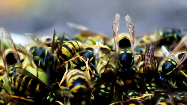 Wildlife swarm wasps eat rotten pear or apple on the ground Many yellow wasps crawling inside a rotten pear. Swarm wasps moves around the pears. Close-up of a wasp move in rotten fruit fallen to the ground from the tree. arthropod stock videos & royalty-free footage