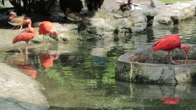 Wildlife video: flamingo at Saigon Zoo and Botanical Gardens