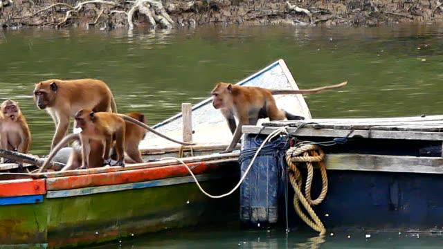 Tierwelt-Video der Familie von Affen sitzen in einem Boot-Park in den Mangroven Wald am südlichen Strand von Thailand, Tier und Natur Cocept. – Video
