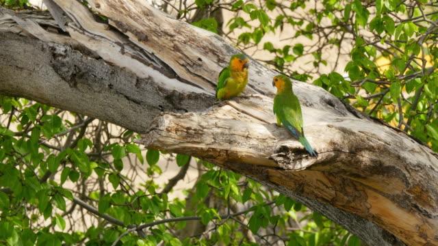 Wildlife with Parakeet bird on Caribbean island  of Curacao video