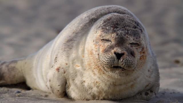 Wildlife with Seal on German island  of Langeoog video