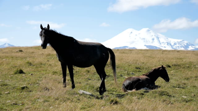a wildly grazing black horse and black foal on an alpine pasture of the north caucasus. farm mining concept - stallone video stock e b–roll