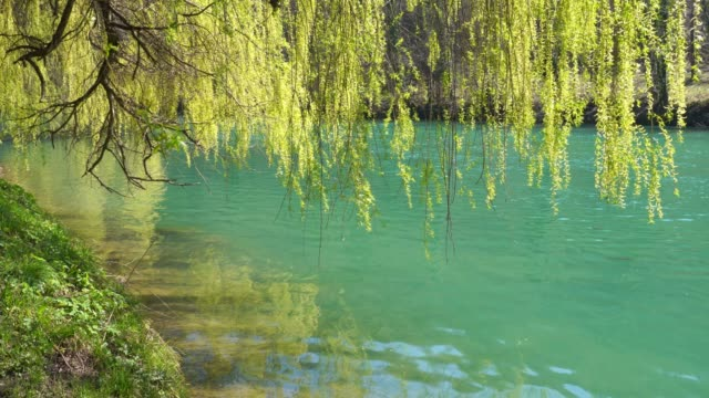 Willow branches over flowing river Light spring breeze in branches of weeping willow over the turquoise river riverbank stock videos & royalty-free footage