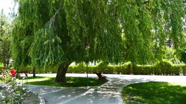 stockvideo's en b-roll-footage met willow tree bungelen, overhangende wilg boom in het park, grote wilg boom, - plantdeel