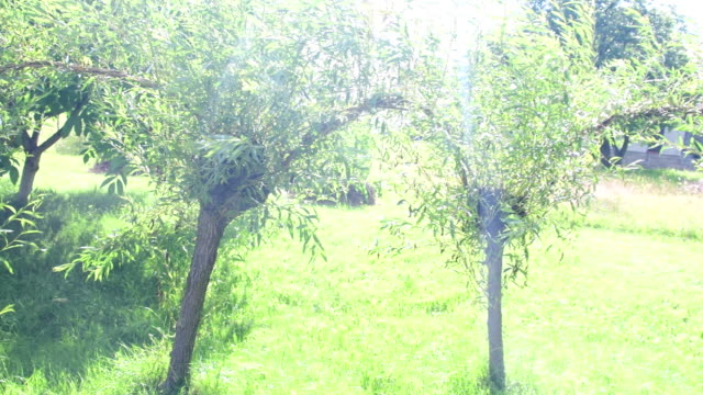 Willow trees in the garden video